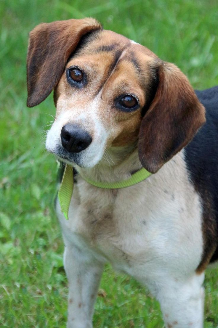 Best 25+ Beagle mix ideas on Pinterest | Beagle mix ...