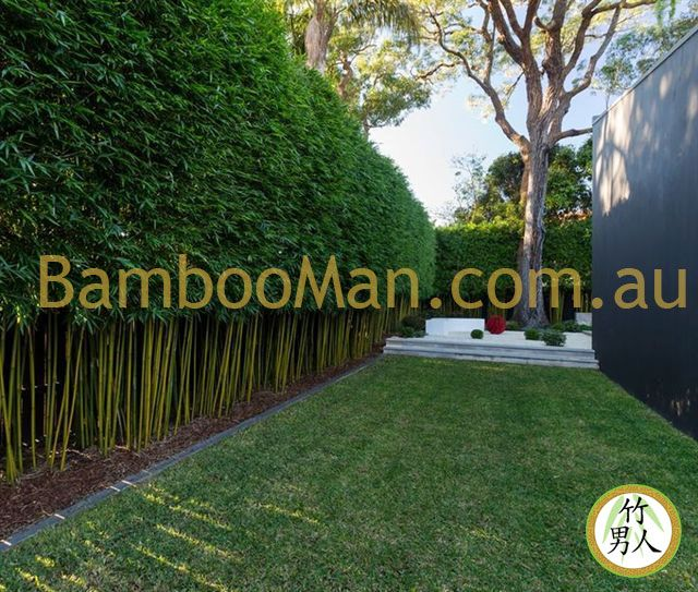 Gracilis bamboo in Australia (Queensland / New South Wales): Do you need a bamboo screening plant specialist about a solution to your privacy situation?