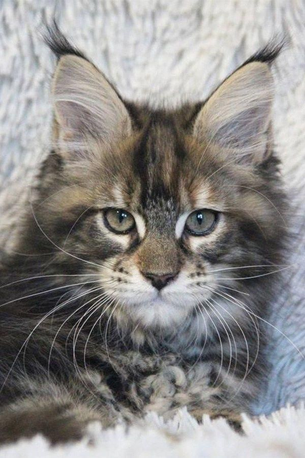 Fantastic Cats And Kittens Detail Are Offered On Our Web Pages Take A Look And You Wont Be Sorry You Did Catsandkittens In 2020 Katzen Haustiere Tiere