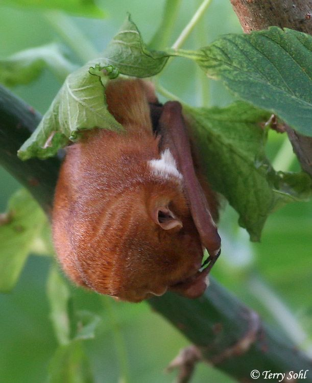 Baby Eastern Red Bat