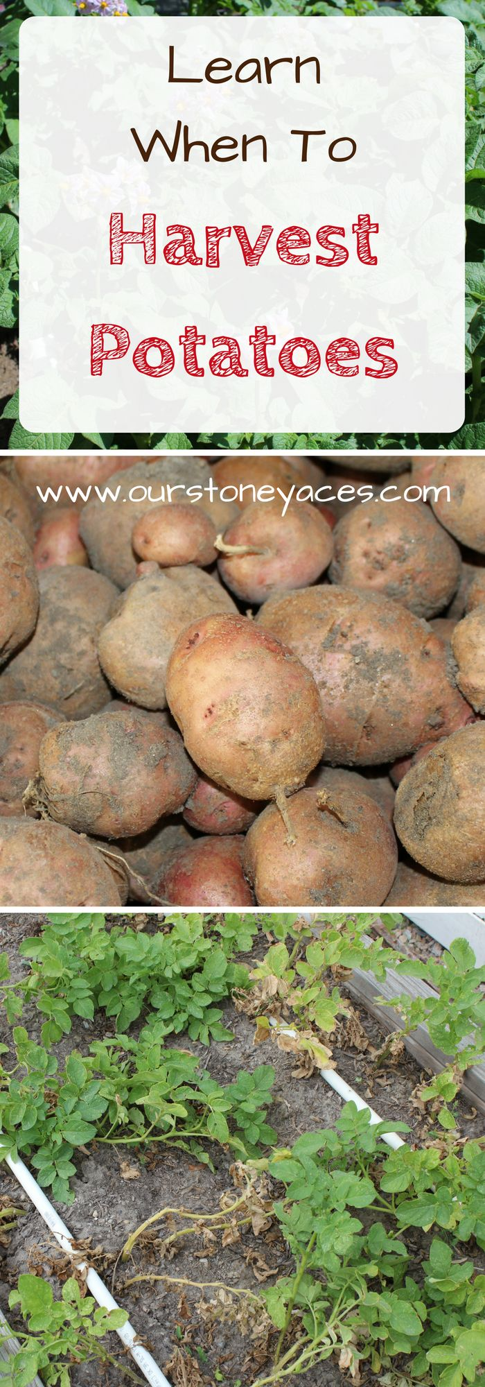 When to Harvest Potatoes. Knowing when to harvest potatoes from you backyard garden can be a bit tricky. This post will help you know when to harvest potatoes for a great crop of nice sized spuds!