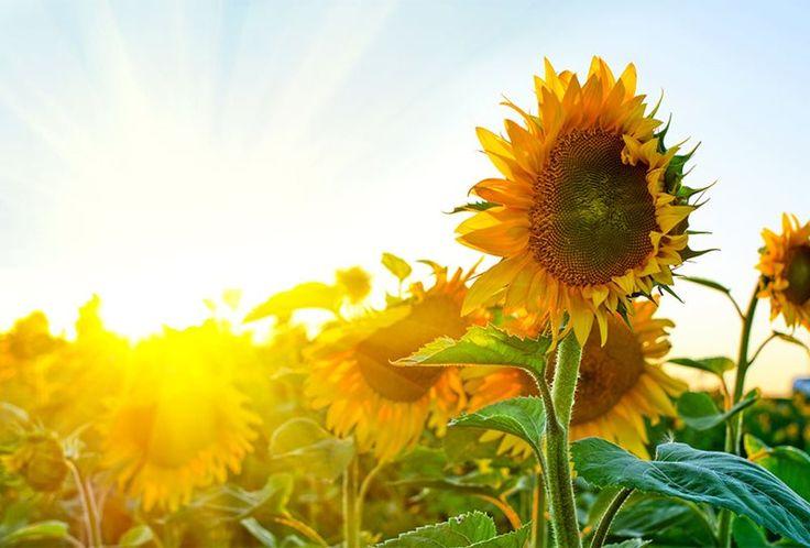Den høje, gule solsikke er indbegrebet af dansk sommer. Læs vores guide til, hvordan du plejer dine solsikker, så de varer længe og bliver tårnhøje.