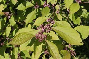 Bodinier Beautyberry - Callicarpa bodinieri 'Profusion' - PNW Plants
