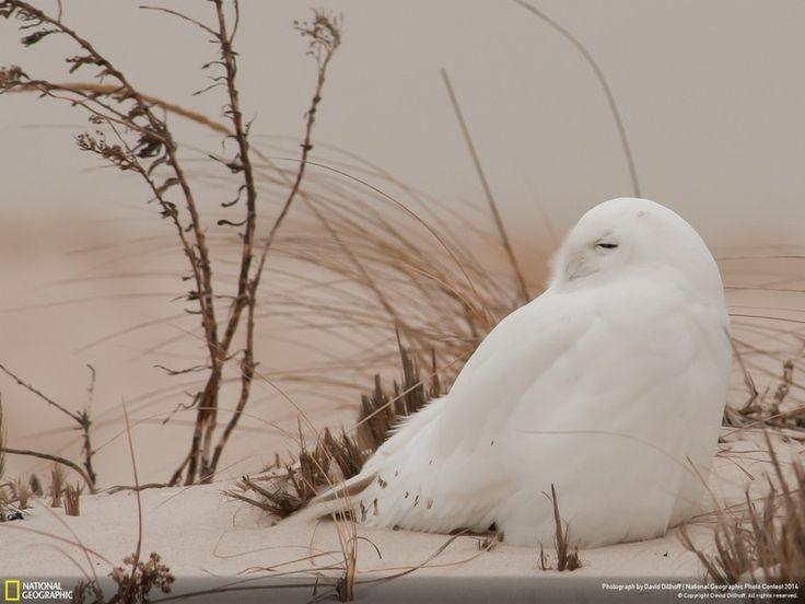 "23 ""Зимняя сова"". Лонг-Айленд, Нью-Йорк. Автор - David Dillhoff."