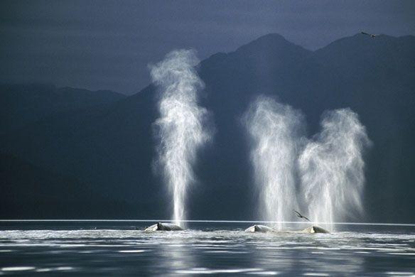 Humpback whales in Alaska: Humpback Whales Feeding In Alaska
