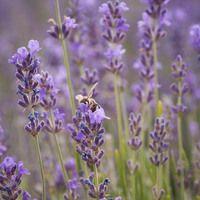 Lavandula Angustifolia, English lavender, Most fragrant lavender, Lavender Hidcote, Lavender Munstead, Lavender Rosea, Lavender Nana Alba, Lavender Thumbelina Leigh, Lavandula Angustifolia Hidcote,  Lavandula Angustifolia Munstead