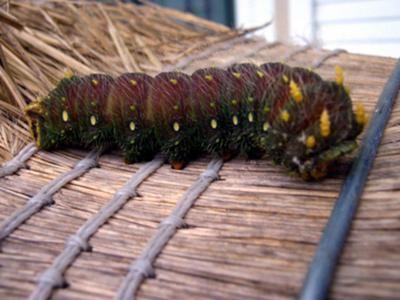 Caterpillar Identification Page 2