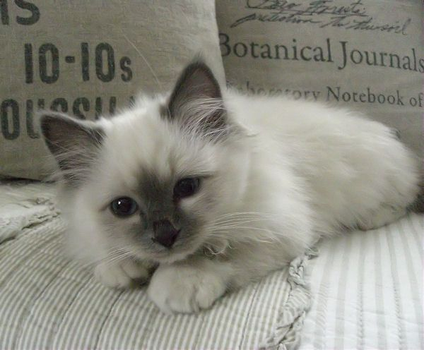 """""""Familienzuwachs"""" (German for """"Addition to the family"""")  ~ """"We got a new kitty. His name is Yoki & he's 14 wks old. Such a cute cuddly little boy. We love him so much! PS. He's a Sacred Birman cat (blue point), not a Ragdoll!"""" 