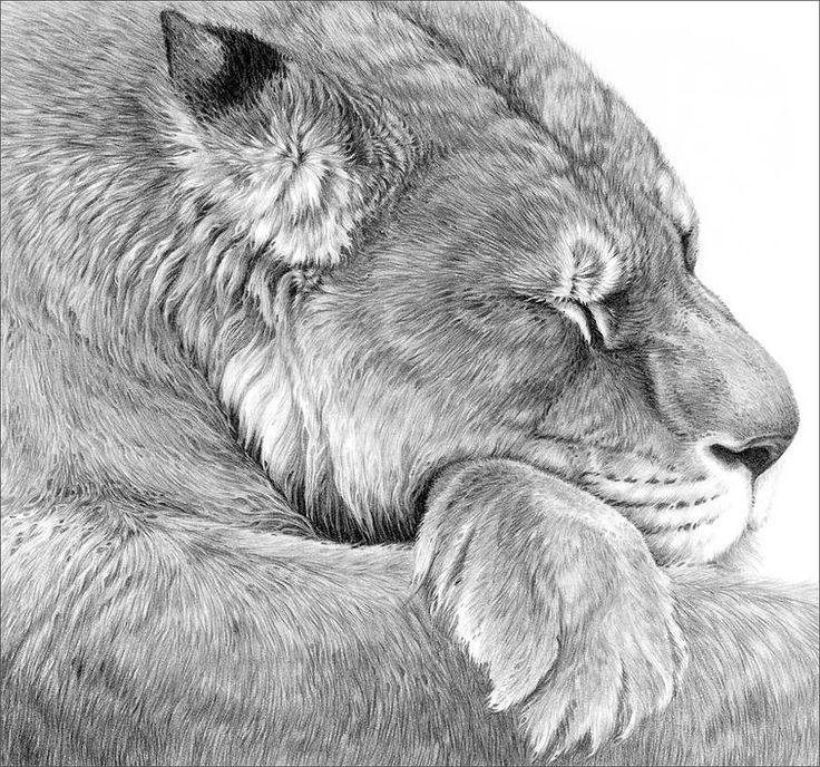 Wild cat drawings by gary hodges animal pencil
