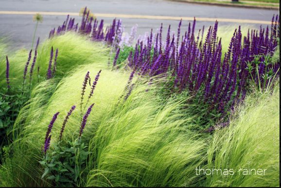 Mexican feather grass and Russian sage