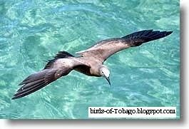 Brown Noddy http://birds-of-tobago.blogspot.com/2013/10/brown-noddy.html  #Brown Noddy #seabirds #Sea Birds #coastal #birds #Tobago #West Indies #Caribbean