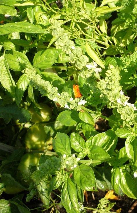 O manjericão é uma planta de grande fragrância cujas folhas são usadas como tempero em diferentes tipos de comida. Quanto mais jovens forem os rebentos, mais condimentadas são as suas folhas – recheadas de óleos essenciais, contém ainda ácidos orgânicos e generosas doses de vitaminas C e A. O manjericão é irresistível à mosca branca, sendo por isso uma boa planta sacrificial para ter no meio da horta, junto de hortícolas sensíveis a esta praga.