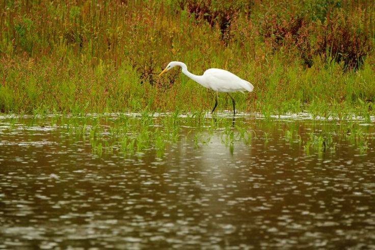Egret in the rain by Gerrit Kuyvenhoven