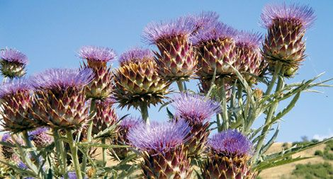 Το γαϊδουράγκαθο, είναι το καλύτερο βότανο. Δείτε γιατί. : www.mystikaomorfias.gr, GoWebShop Platform