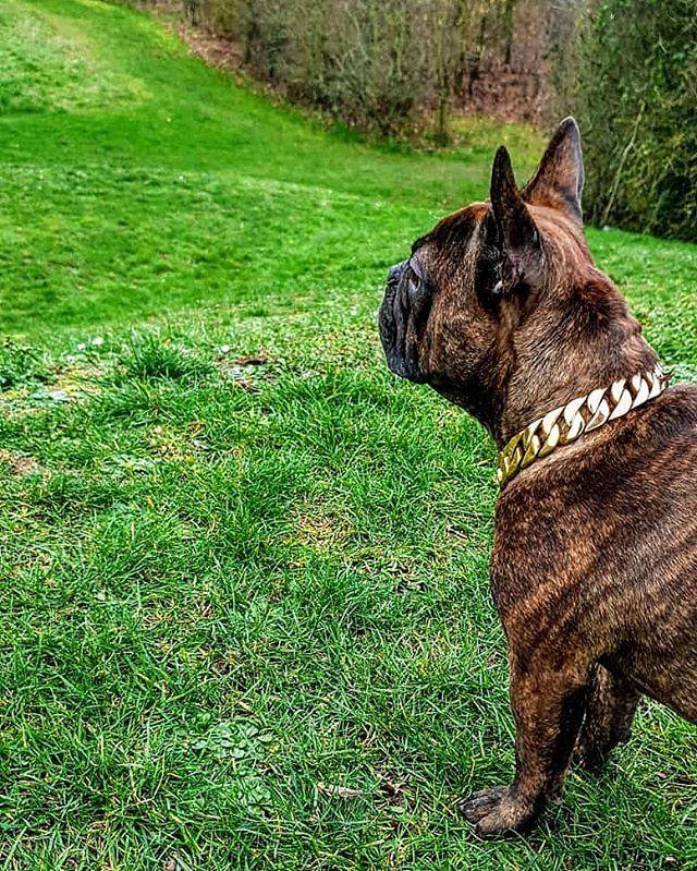 25mm Gold Chain Regaldog Regallife Dogcollars Dogchains