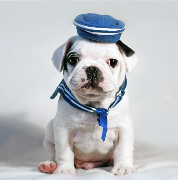 Navy FrenchieHats, Bulldogs Puppies, Dogs Costumes, Outfit, Pets, Sailing Away, Sailors, The Navy, Animal