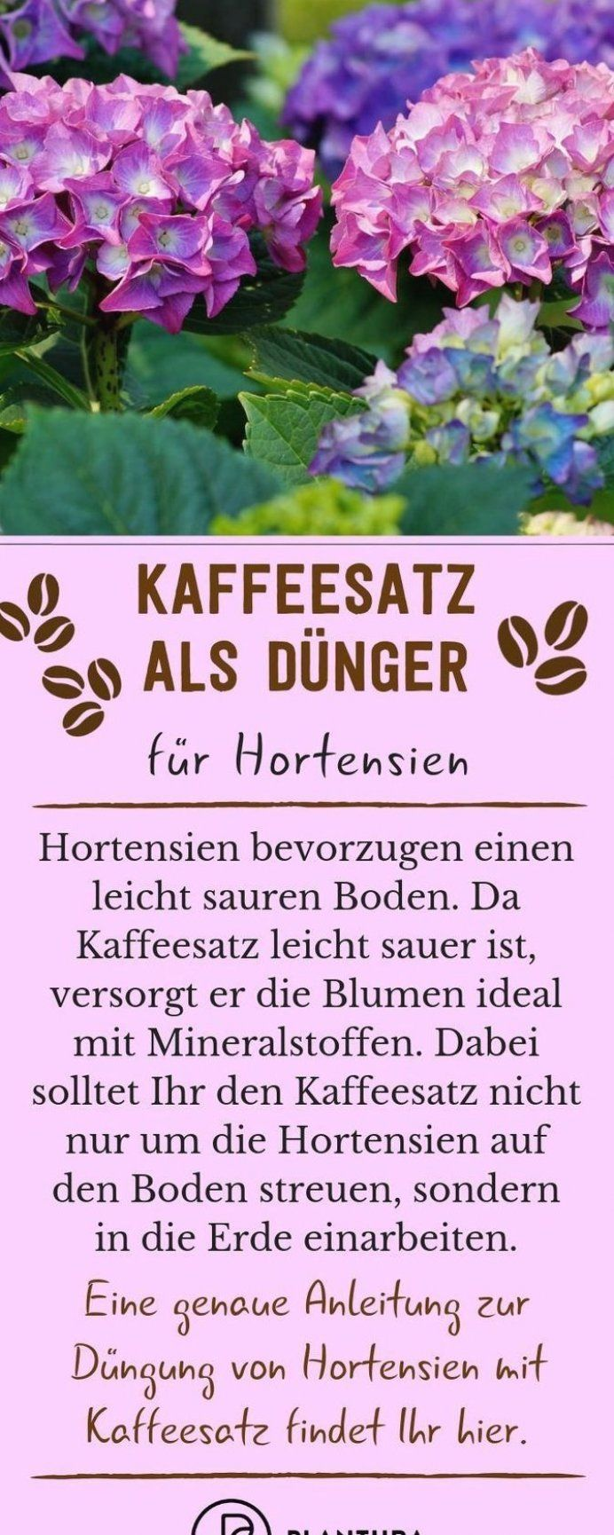 Welche Erde Für Hortensien Im Topf Kaffeesatz Als D Nger F R Hortensien Hortensien Bevorzugen Einen Leicht Sauren Boden Da Eign… | Coffee Grounds As Fertilizer, Coffee Grounds, Creative Gardening