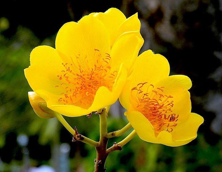 ALGODAO: Gossypium religiosum El floral Algodao trabaja la Visión y la audición a nivel del alma. Hace la limpieza, remueve los obstáculos en los cuerpos sutiles, y remueve los obstáculos en nuestra audición suprafísica. Reconecta a nuestra personalidad con nuestro yo Superior. Algodao actúa en nuestros cuerpos, tanto físicos como en los sutiles, reparando los rombos en nuestra aura, causados por los traumas físicos y psíquicos, o producidos por la medianidad forzada.
