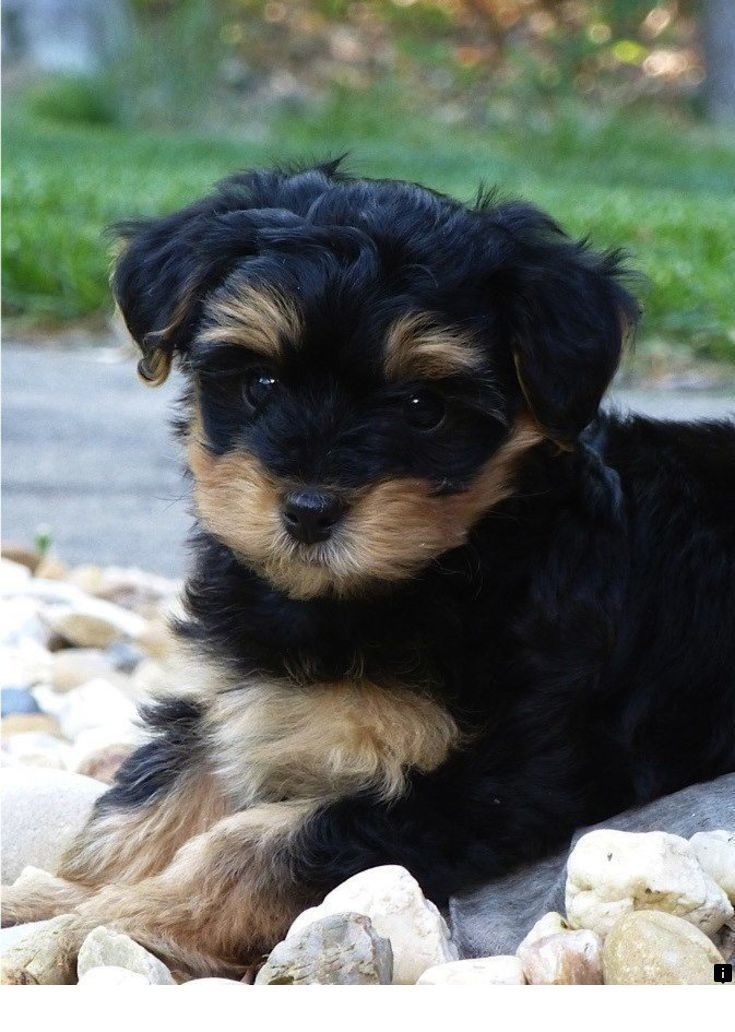 Check Out The Webpage To See More About Yorkshire Terrier Click The Link For More Information Viewing The Yorkie Poo Puppies Poodle Mix Breeds Cute Animals