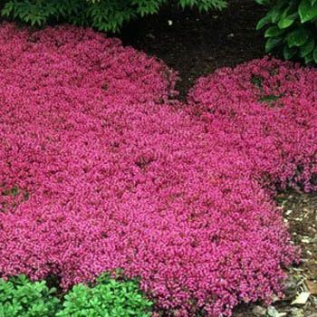Creeping Thyme (Thymus Serpyllum 'Magic Carpet') hardy drought tolerant perennial, pink lemon-scented blooms all summer, 2-4 inches tall.