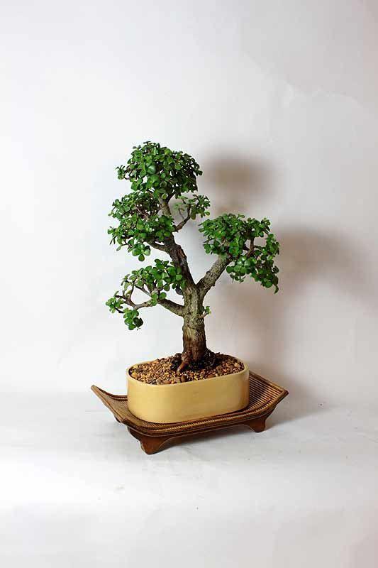 Mature Dwarf Jade Bonsai Tree by LiveBonsaiTree on Etsy, $89.00