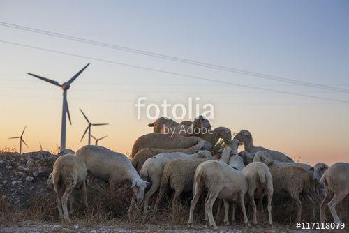 Flock of sheep grazing at electric wind turbines farm