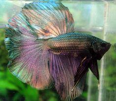 copper betta fish - Google Search