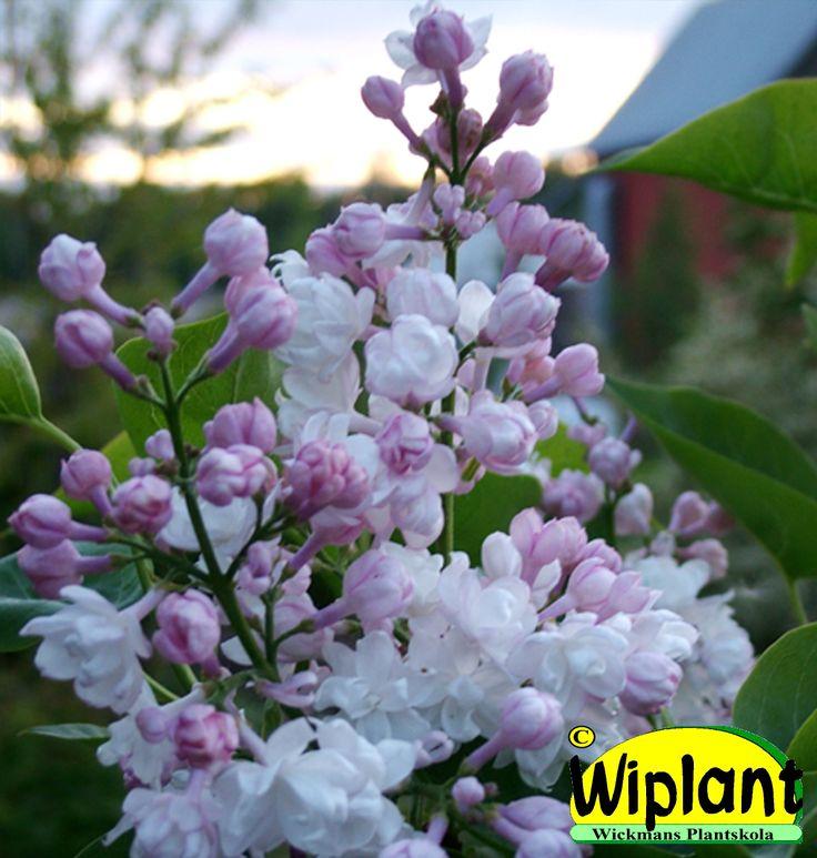 Syringa x 'Beauty of Moscow', ädelsyren. Vita dubbla blommor. Rosa knoppar. Härdig. Höjd: 1,5-3 m. Finns även som stamsyren.