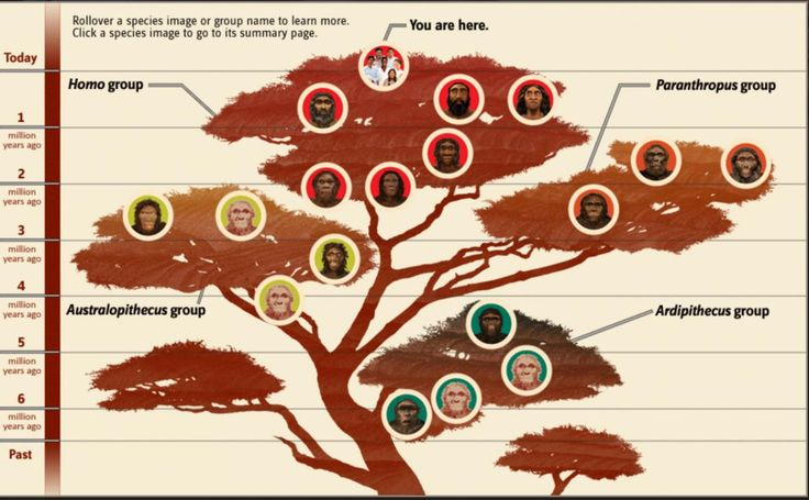 Human family tree from the Smithsonian human origins site. The new fossil goes somewhere hear the base of the Homo group. (©Smithsonian's Human Origins Program)