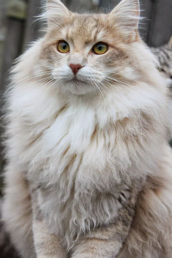 """[Luke... the Norwegian Forest Cat: """" Me haz decided to joins forces wif de activists who protectz de forests in Norway from bein' allz sawed downs."""""""