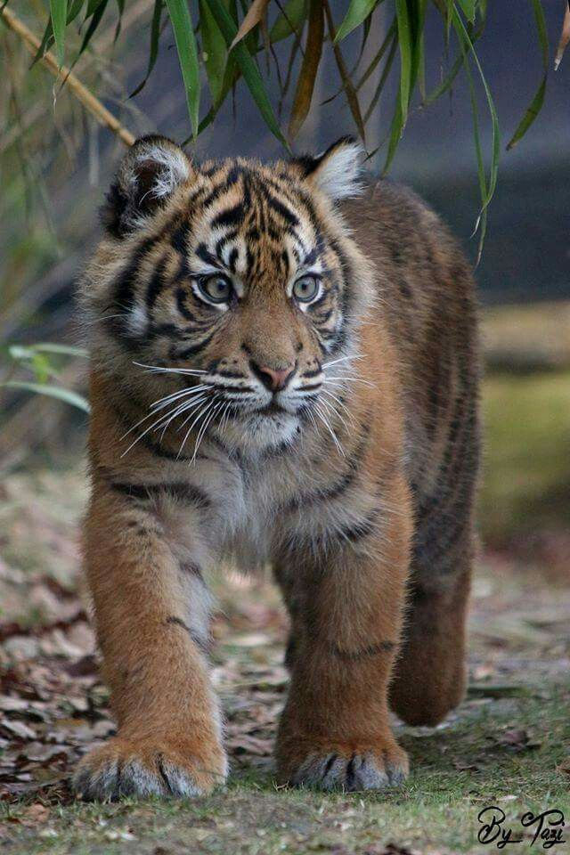 smallest tiger in the world
