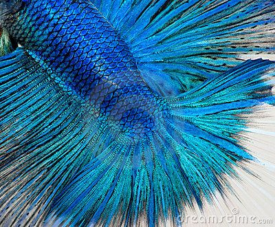Close up shot of blue betta fish scales betta splendens for List of fish with fins and scales