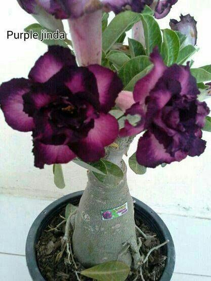 bonsai flor del desierto