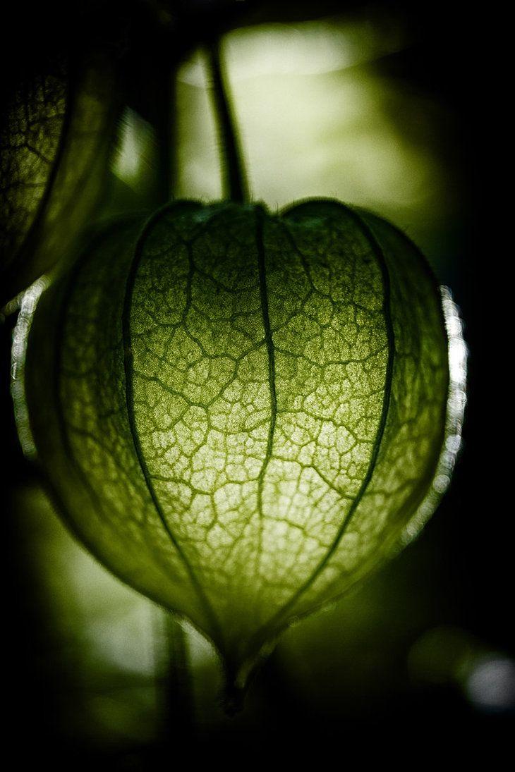 ♂ Green Die gruene Physalis by *feigenfrucht