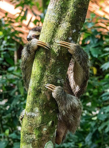 12 claws of doom #aww #Cutesloths #sloths #boopthesnoot #cuddle #fluffy #animals #aww #socute #puppy #bestfriend #itssofluffy