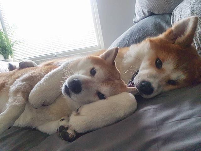 """Resultado de imagen de Shiba Inu and owner cuddling"""""""