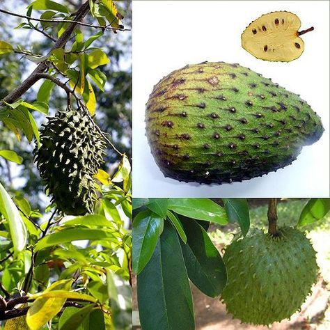 La guanábana es la floración de un árbol de hoja perenne nativo de las regiones tropicales del mundo. También contiene una larga y espinosa fruta verde que mata el cáncer y es hasta 10.000 veces má…