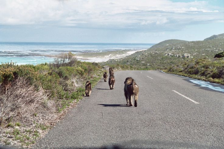 """Cape Point, South Africa. We were to """"stay away from the baboons & babies, they are dangerous."""""""