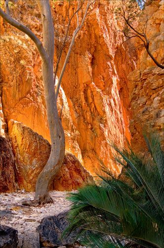141 - Standley Chasm Tree near Alice Springs,  Central Australia, Northern Territory