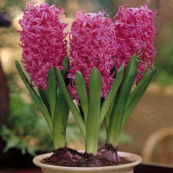 How to grow hyacinth bulbs indoors f 2017 - Planting hyacinths indoors ...