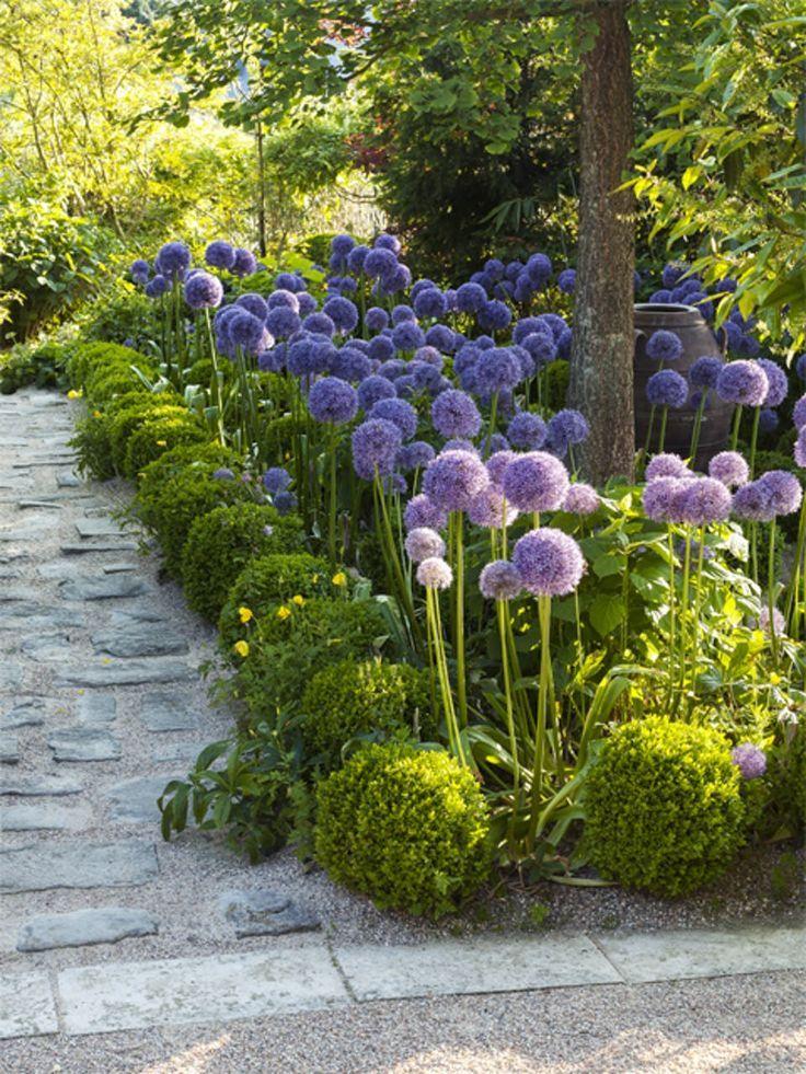 Dekorieren Sie Ihren Garten Mit Der Schonen Und Eleganten Pflanze Allium Allium Dekorieren Elegant Landschaftsdesign Landschaftsbau Ideen Gartengestaltung
