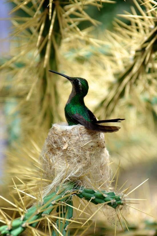 Hummingbird on the nest                                                                                                                                                                                 Plus