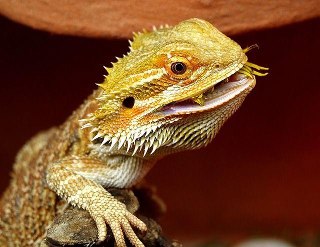 Free Image On Pixabay Bearded Dragon Australia Lizard Baby