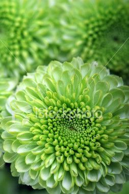Lime Green Spray Mums - Accents in bouquet?