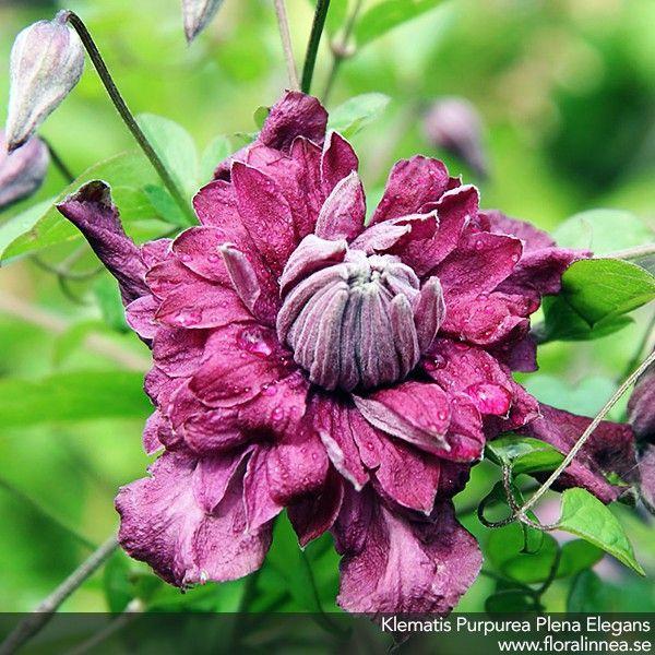 Klematis / Clematis Purpurea Plena Elegans