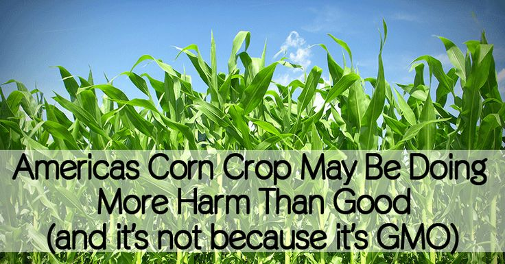 Americas Corn Crop May Be Doing More Harm Than Good - Healthy Holistic Living