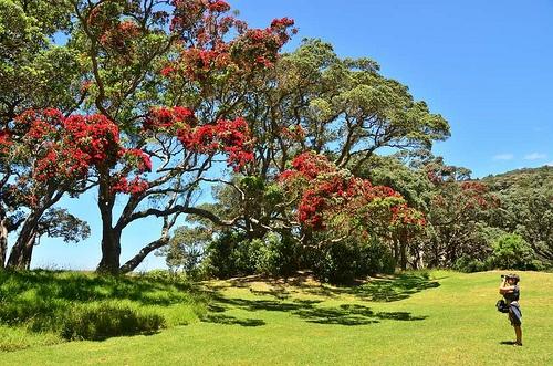Pohutukawa new zealand christmas tree new zealand for Evergreen landscapes christchurch