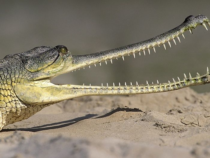 Human activity 'driving half of world's crocodile species to extinction' by Supertrooper http://focusingonwildlife.com/news/human-activity-driving-half-of-worlds-crocodile-species-to-extinction/