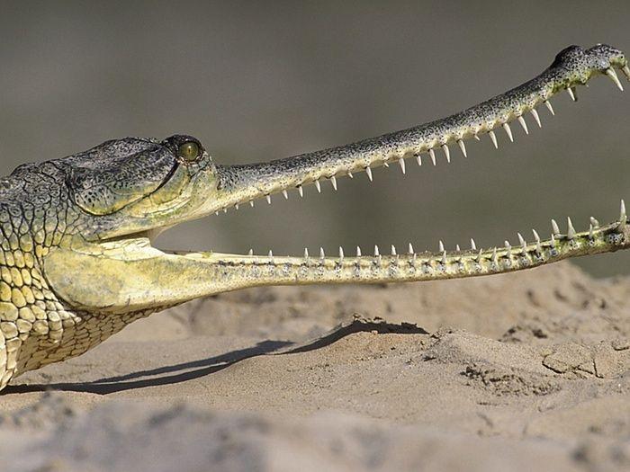 Human activity 'driving half of world's crocodile species to extinction' » Focusing on Wildlife