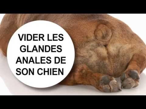 Engorgement et abcès des glandes anales chez le chien | Catedog